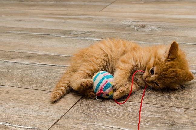 gato com brinquedo